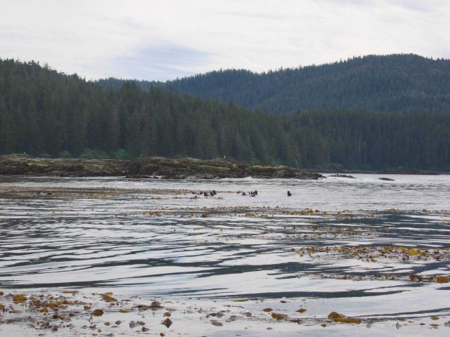 Sea otters in kelp bed. Picture