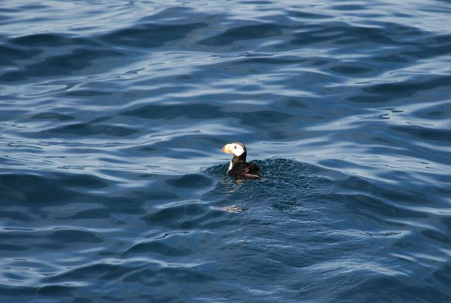 Horned puffin swimming. Picture