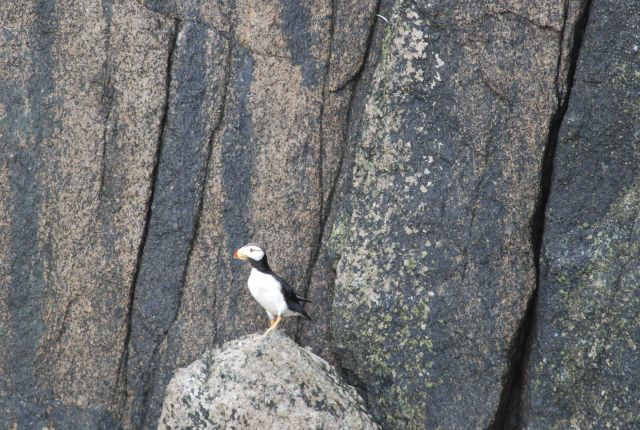 A horned puffin. Picture