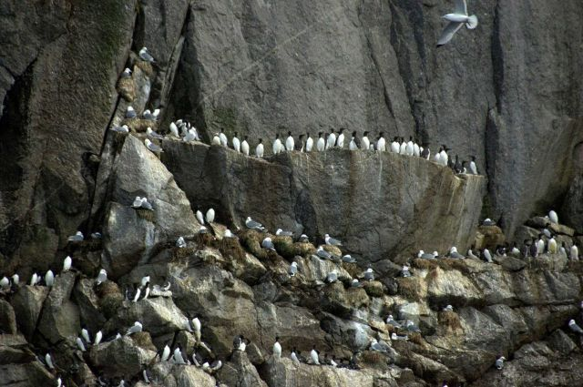 Common murres at top and black-legged kittiwakes Picture