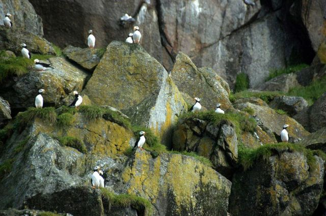 Horned puffins. Picture