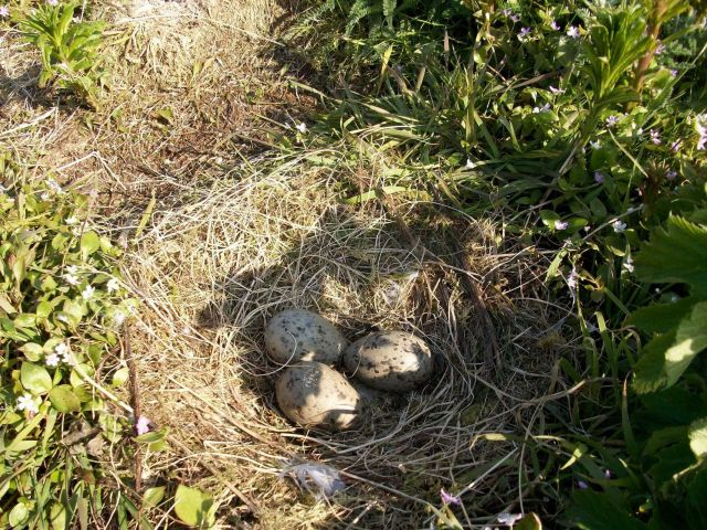 Willow ptarmigan eggs. Picture