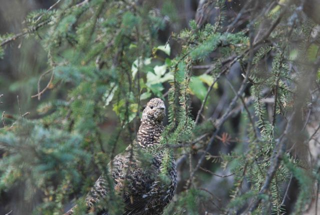 Female willow ptarmigan. Picture