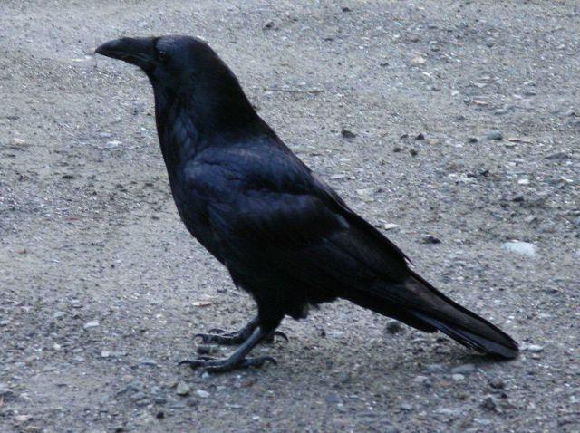 Raven. Picture
