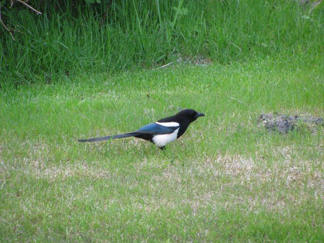 Black-billed magpie. Picture