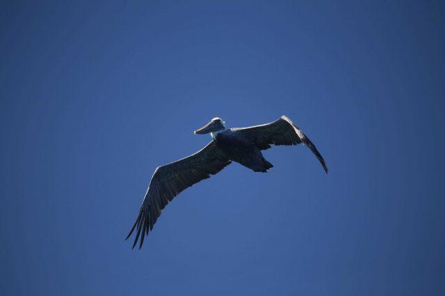 California brown pelican. Picture
