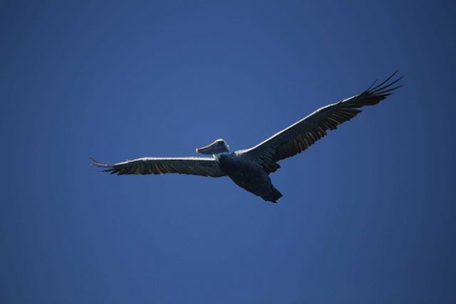 California brown pelican. Picture