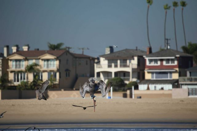 California brown pelican going vertical. Picture