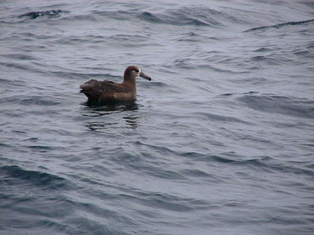 Black-footed albatross. Picture
