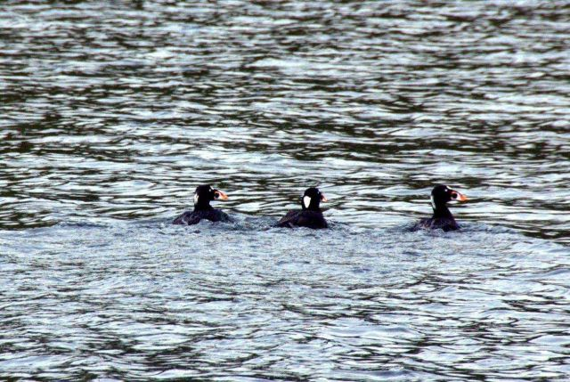 Surf scoters. Picture