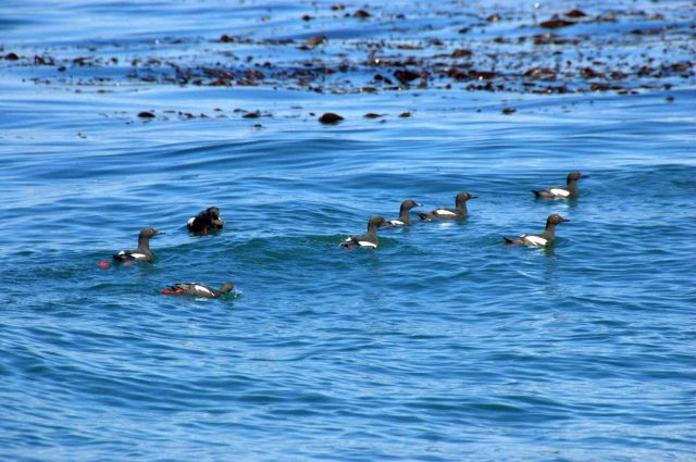 Black guillemots. Picture