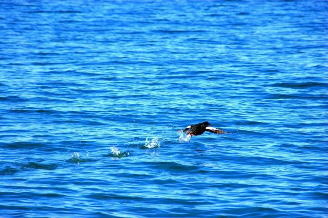 Black guillemot taking off. Picture