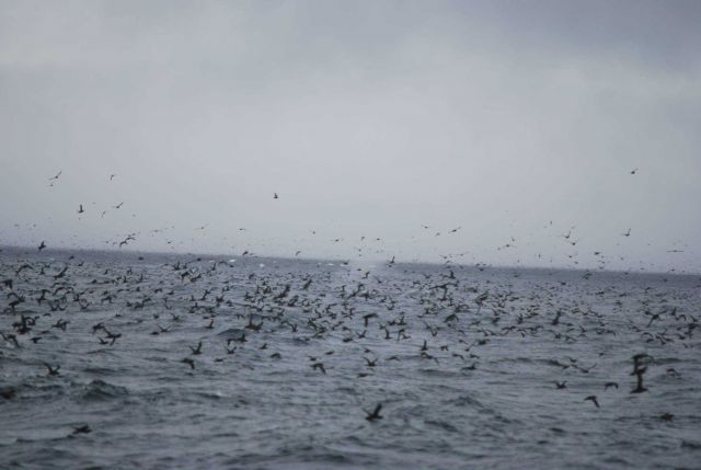 A profusion of sea birds with a blowing whale in the center. Picture