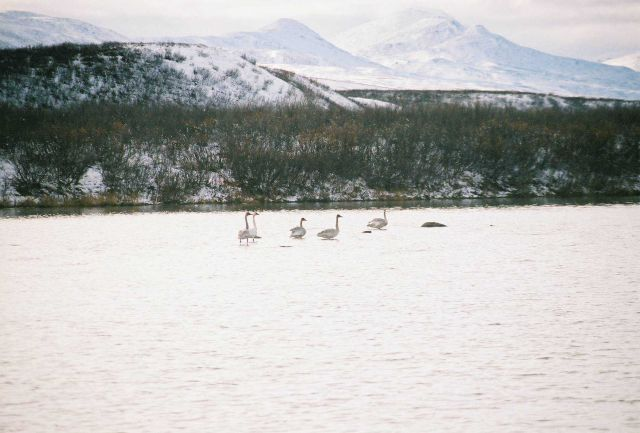 Snow geese in shallow water. Picture