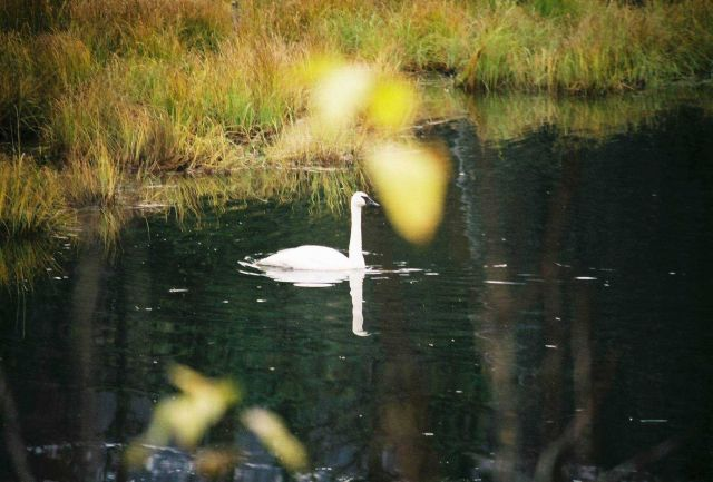 Trumpeter swan. Picture