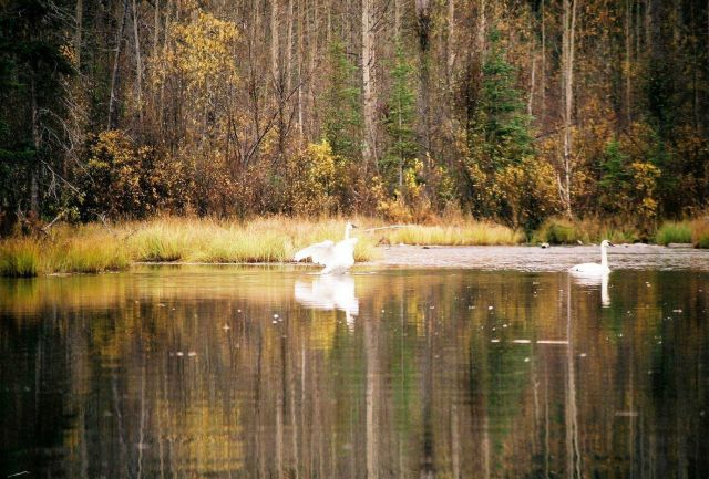Trumpeter swans. Picture