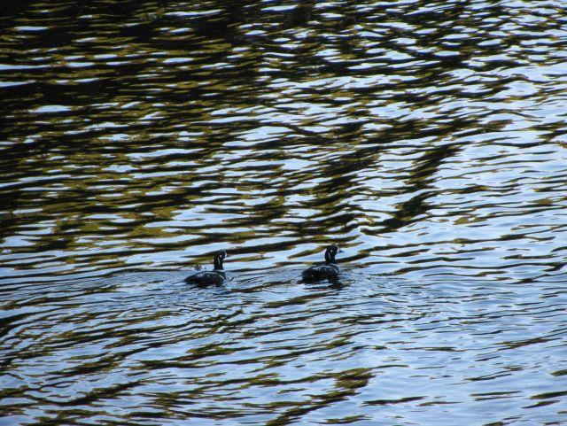 Harlequin ducks. Picture