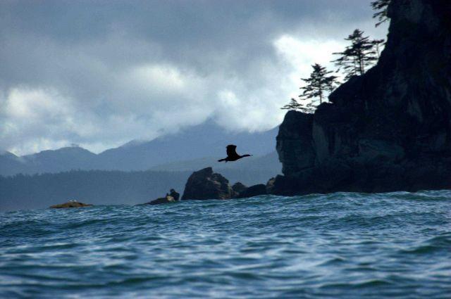 Cormorant in flight. Picture