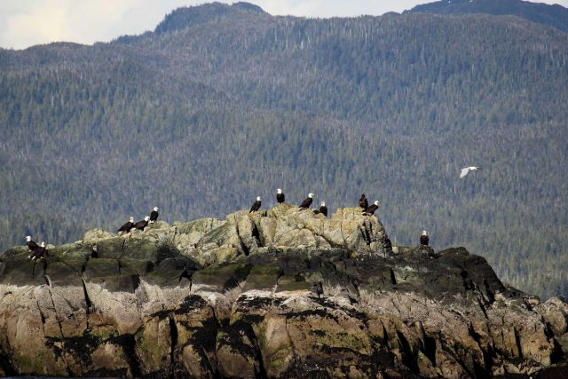 Bald eagles on an offshore rock. Picture