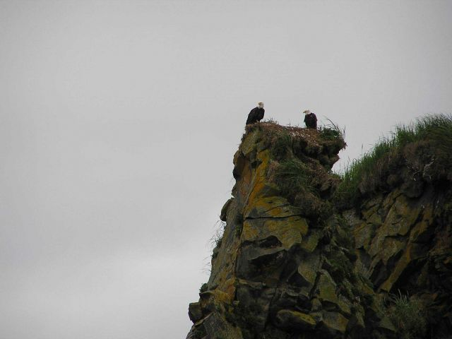 Bald eagles at the edge of a cliff. Picture