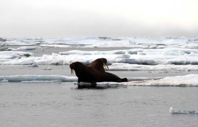 Two walrus on an ice floe. Picture