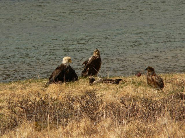 Bald eagles with fledgling. Picture
