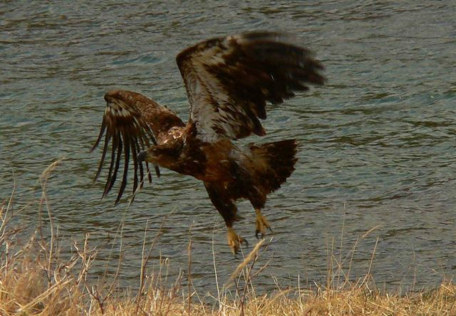 Young bald eagle taking flight. Picture