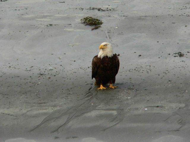 Bald eagle on tidal flats. Picture