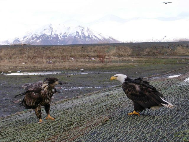 Mature bald eagle and young bald eagle scavenging the left overs on nets left out to dry. Picture