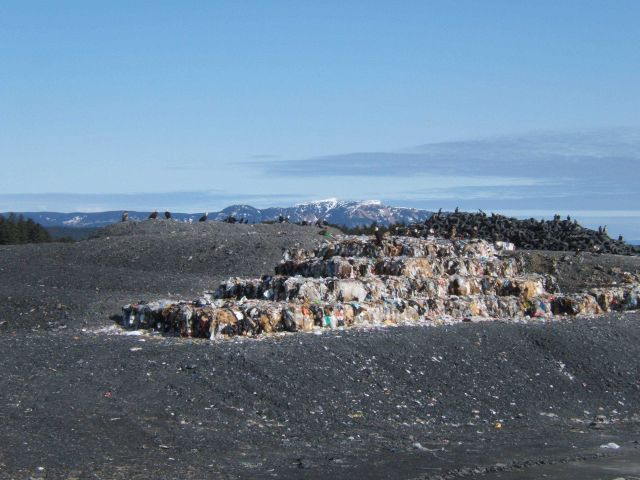 Eagles at the dump on Kodiak Island. Picture