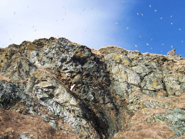 Possibly kittiwakes flying high above the cliffs of Little Diomede Island. Picture