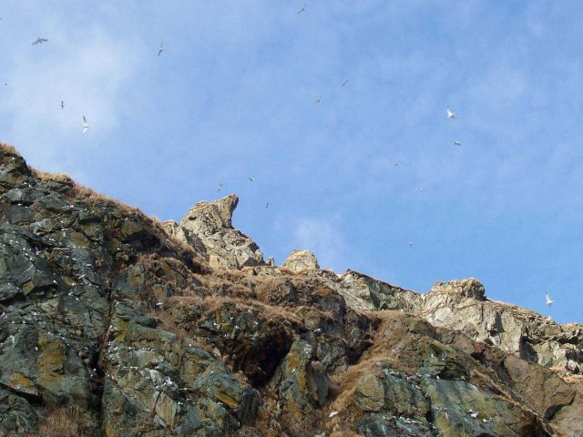 Possibly kittiwakes flying high above the cliffs of Little Diomede Island Picture