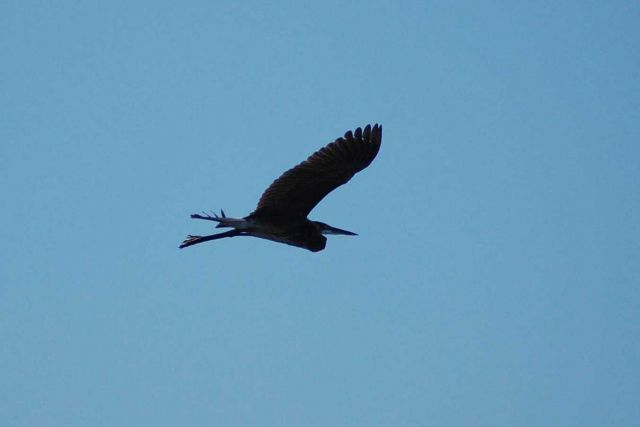 Blue heron in flight. Picture