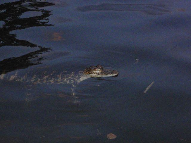 Medium-sized American alligator. Picture
