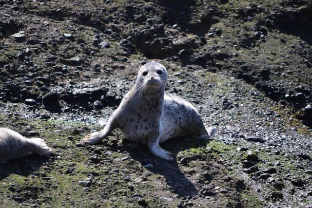 Harbor seal pup Picture