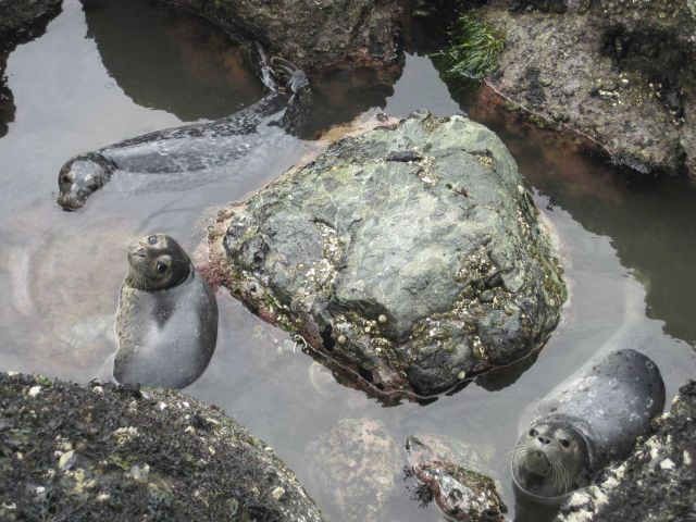Harbor seal pups hanging out in a tide pool. Picture