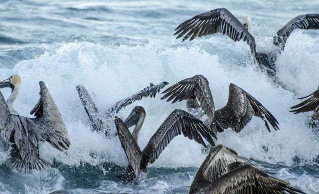 A squadron of pelicans crashing into waves while feeding. Picture