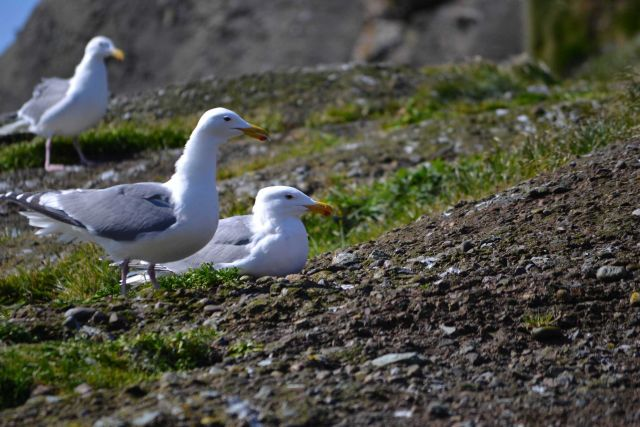 Gulls Picture