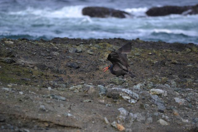 Oystercatcher Picture