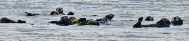 A raft of sea otters Picture