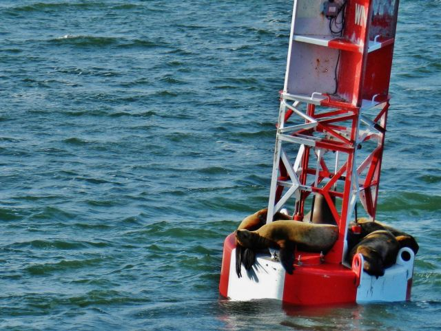 California sea lions hanging out on a buoy Picture