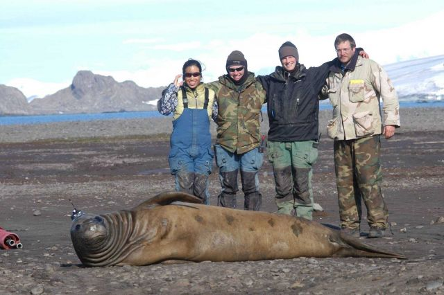 Satellite transmitter placed on head of cow elephant seal. Picture