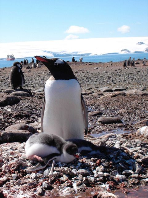 Gentoo penguin with chick Picture