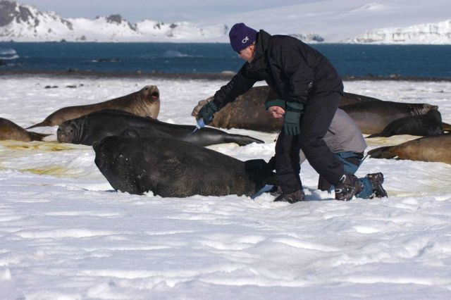 Preparing elephant seal cow for placement of satellite transmitter Picture
