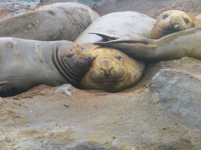 Elephant seals on the beach Picture