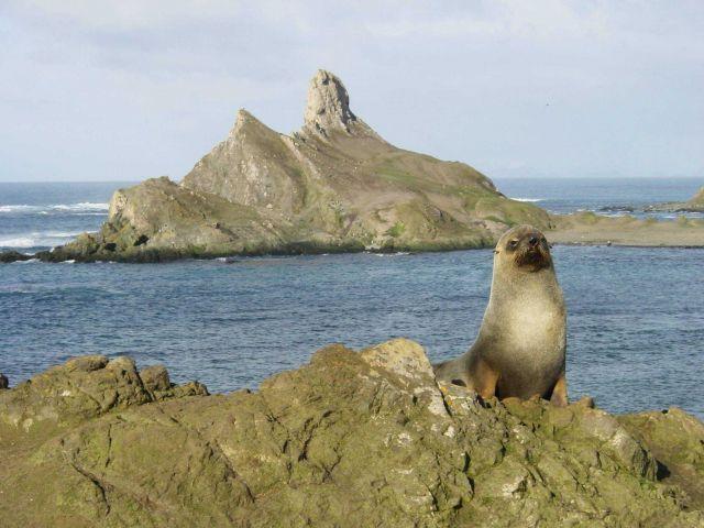 An Antarctic fur seal Picture