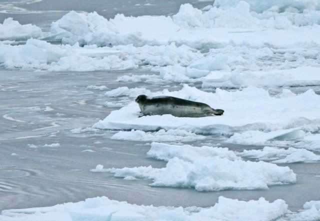 A bearded seal (Erignathus barbatus) on the ice Picture