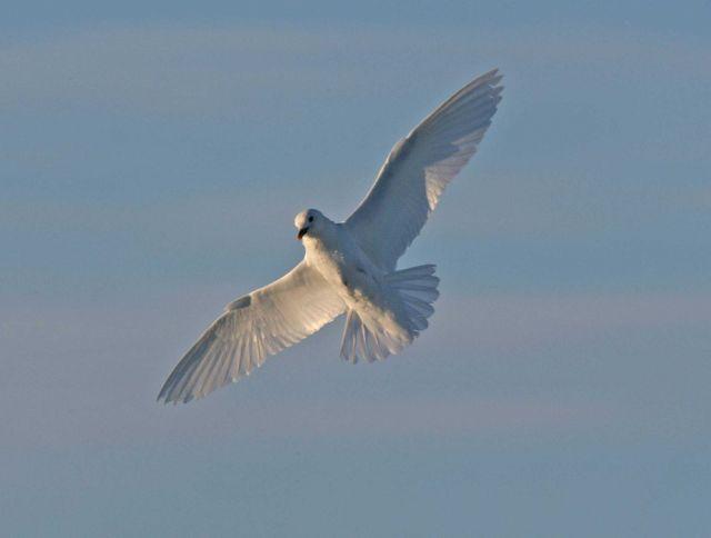 An ivory gull (Pagophila eburnea) Picture