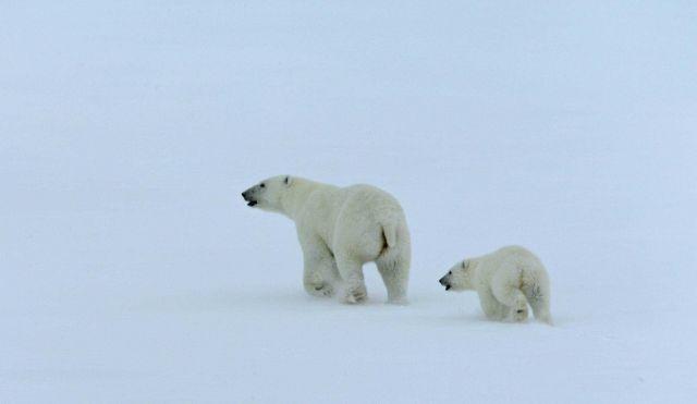 Mother polar bear and cub (Ursus maritimus) Picture