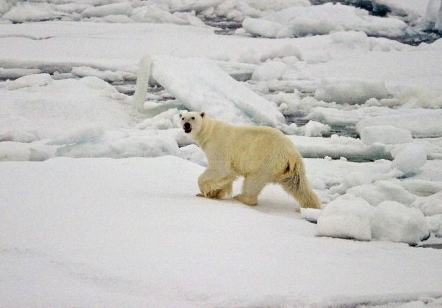 The first polar bear (Ursus maritimus) sighted during NABOS 2006 Picture